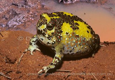Australian Frogs Limnodynastidae (Australian Ground Frogs)