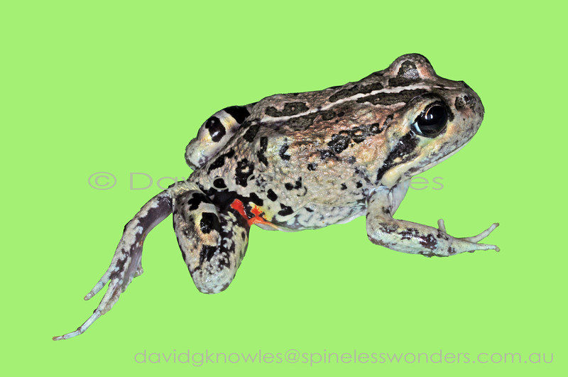 Male Western Banjo Frogs truly sound like base banjo strings when they call