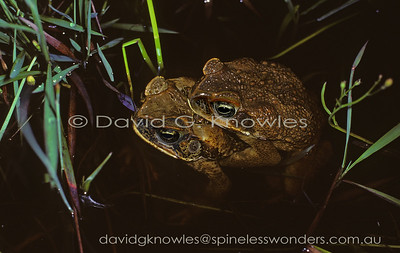 Australian introduced Toad Bufonidae (Marine or Cane Toad)