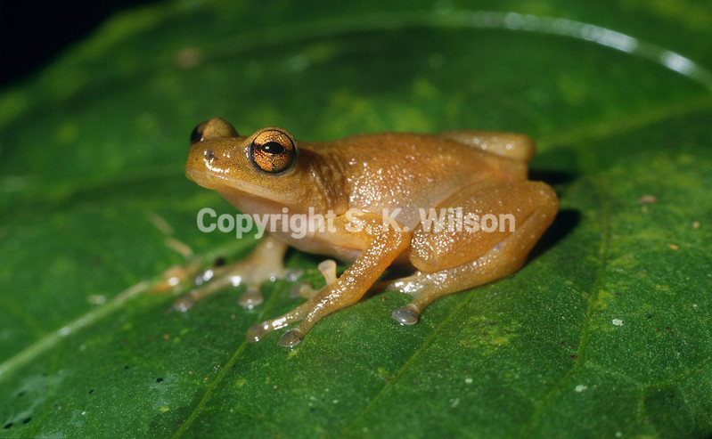 The genus Oreophryne contains over 50 species extending from the Philippines south east to the Islands of Sulawesi and the Lesser Sunda in Indonesian and further east into New Guinea where it is most speciose