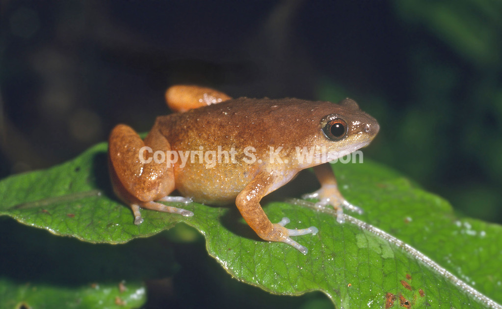 This Microhylid frog is endemic to New Guinea