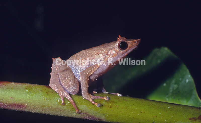Eyelid spines, evolved to emulate fallen dead leaf tips, have been evolved by a number of forest floor-living frog species in many families spanning the old (eurocentric) and new worlds