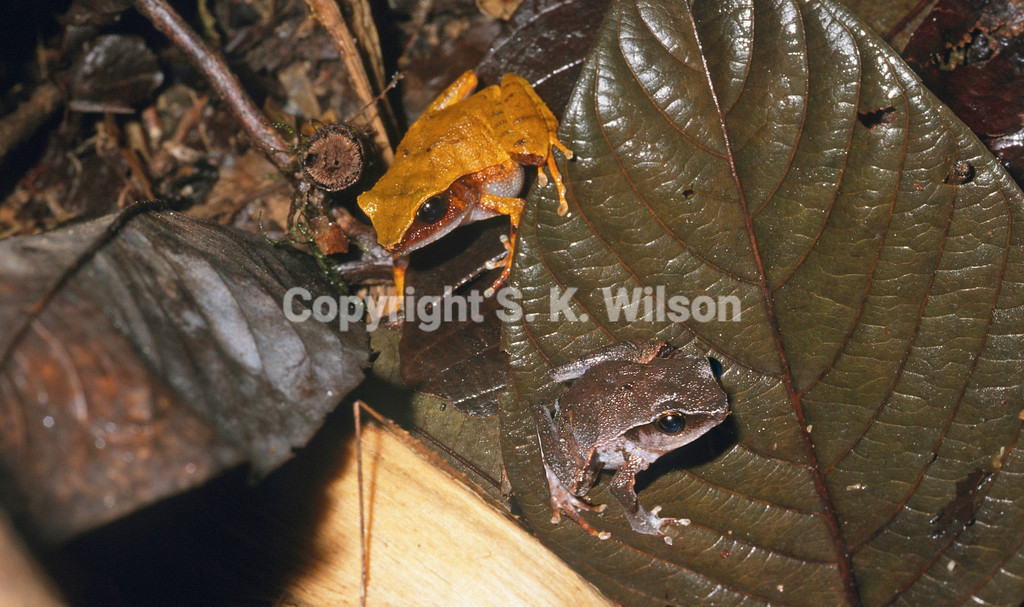 Wandolleck's land frog is endemic to New Guinea, occurring on both sides of the border