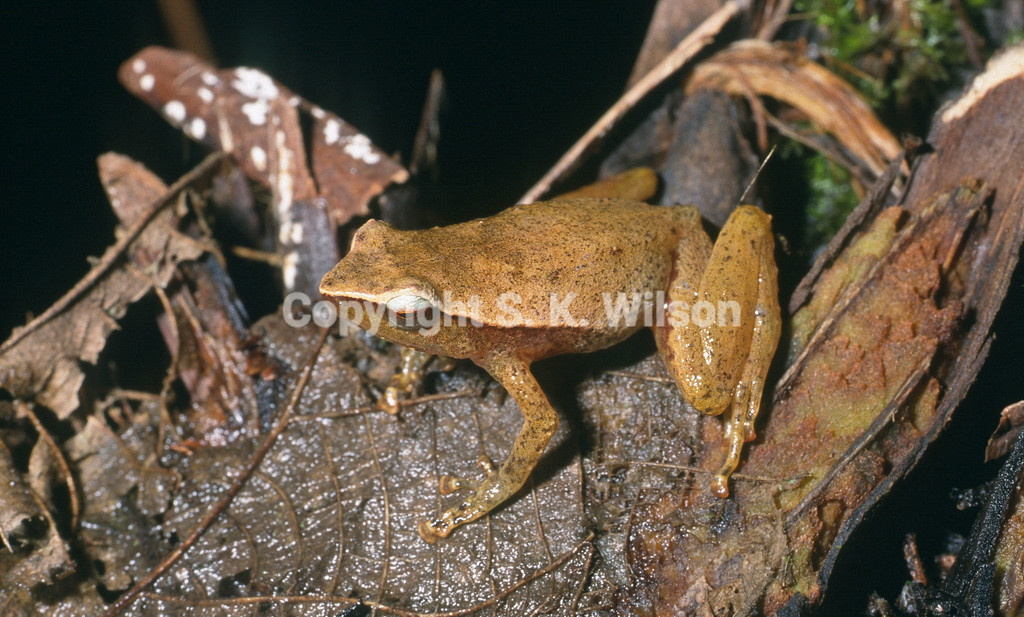 This Microhylid frog is endemic to eastern and southeastern Papua New Guinea