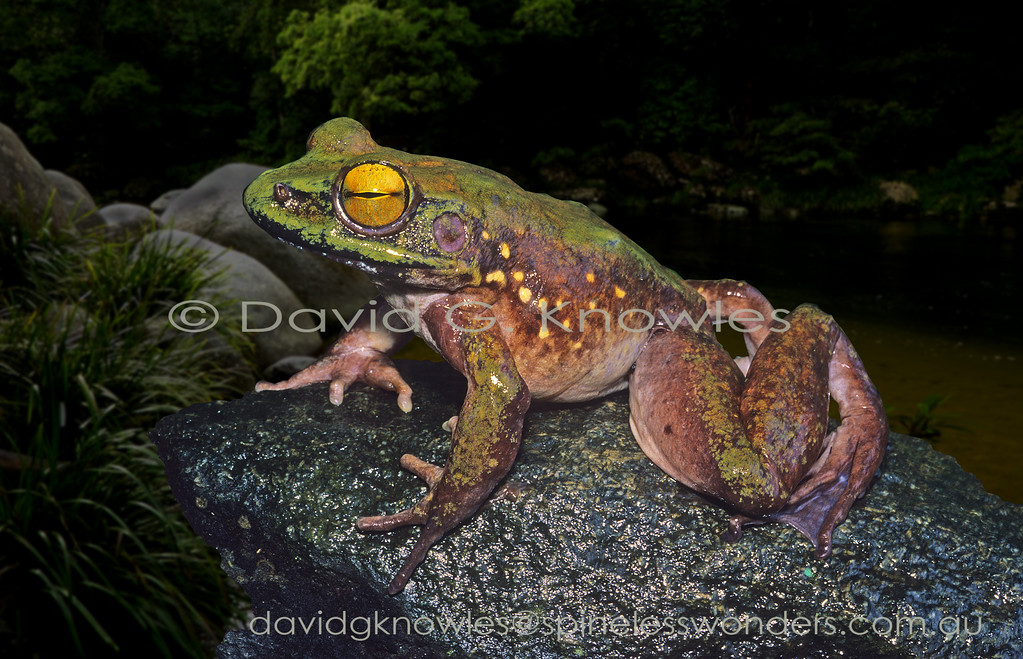 This large unidentified Ranid frog also penetrates into the lowlands where they are more likely to be hunted by humans. I have seen them jump nearly three metres in one leap