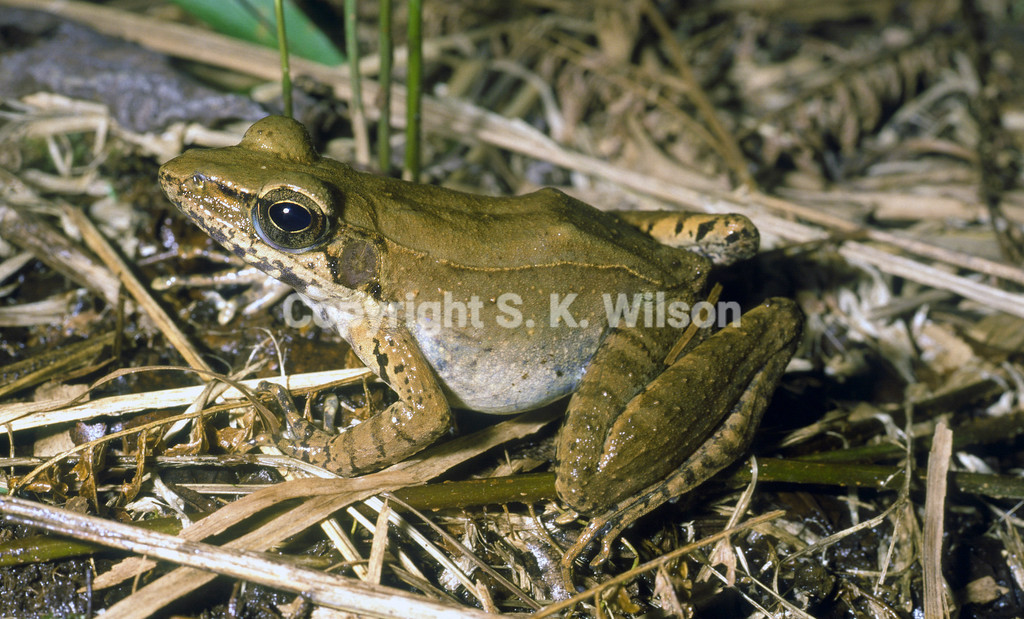 This Ranid frog occurs on Cape York, Queensland, Australia, Indonesia (West Papua) and Papua New Guinea. There may be more than one species involved in the New Guinea populations