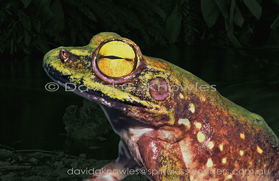 New Guinea Frogs, Papua Frogs, Austro-papuan  Frogs