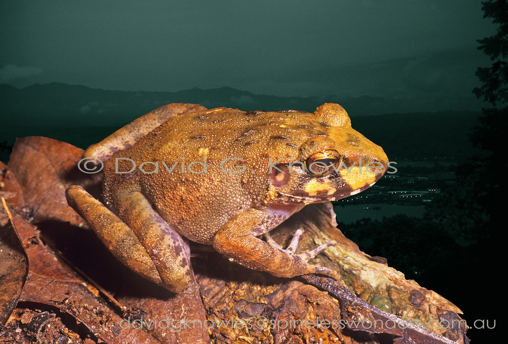 The so-called Ground Frogs were represented by over 70 species in the genus Platymantis which, until recently, spans the western Pacific rim from the Philippines to Fiji. A recent revision removed 34 species and placed them in the genus Cornufer. Platymantis is now reduced to eight species. All members of this genus, bar one, are distributed in the and around the major islands of New Britain and New Ireland to the north east of Papua. I am uncertain as to the generic placement of this unidentified species