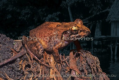 New Guinea Frogs Ceratobatrachidae (Ground Frogs,Forest Frogs, Leaf Frogs)