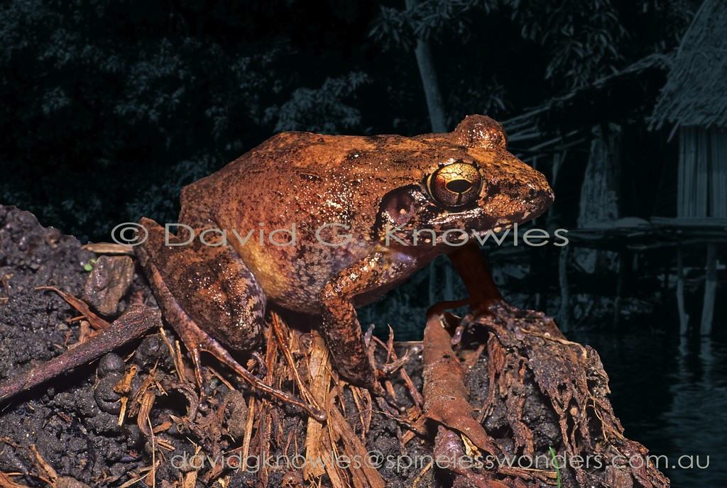 The Papuan Wrinkled Ground Frog was one of over over 70 species in the genus Platymantis which, until recently, spans the western Pacific rim from the Philippines to Fiji. A recent revision removed 34 species and placed them in the genus Cornufer. Platymantis is now reduced to eight species. All members of this genus, bar one, are distributed in the and around the major islands of New Britain and New Ireland to the north east of Papua. This common and widespread ground frog is endemic to New Guinea