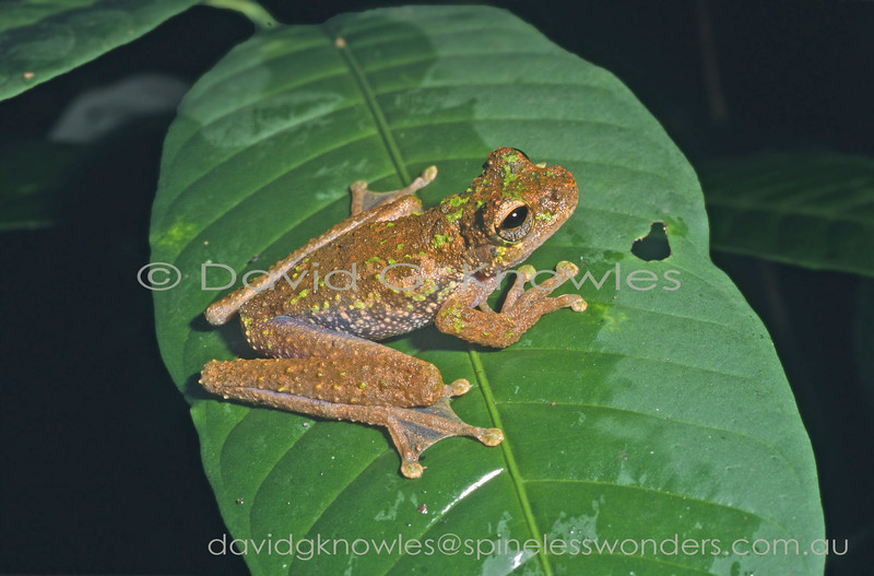 The Nodugl tree frog is endemic to the mountains of central and eastern New Guinea