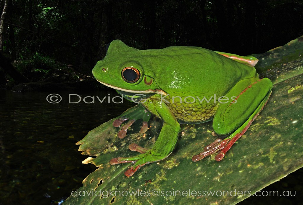 The large White-lipped Tree Frog has done well exploiting rainforest habitats from northern Australia into New Guinea and island chains to the east. This species can turn brown if alarmed. There are at least two similar species in New Guinea