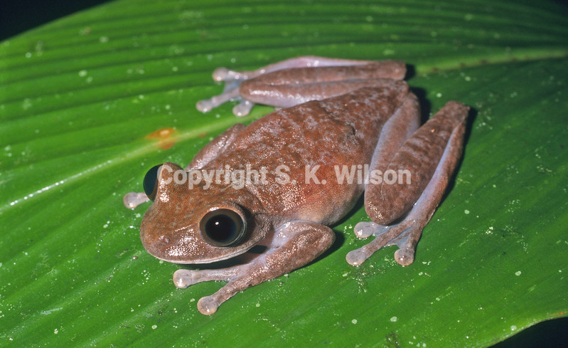 This tree frog is endemic to mountain ranges in New Guinea