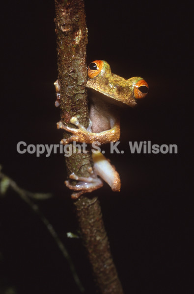 This tree frog is endemic to the southern slopes of the central mountains of Papua New Guinea