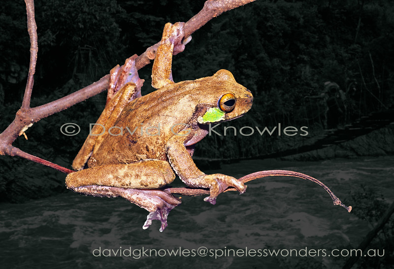 The Angiana Tree Frog complex have variable patterns that has caused confusion with other species as a result. This tree frog is endemic to New Guinea