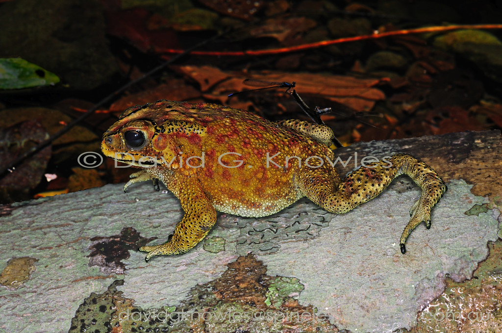 There are two introduced toads in New Guinea. The Cane, or Marine toad from South America is shared with northern Australia and the native South-east Asian Common Sunda Toad. The Common Sunda Toads are avoided by most predators due to the venom produced by parotid glands behind the eyes. As a result toad numbers are controlled in part by a group of snakes immune to the venom. This widespread species extends from Pakistan, Nepal, Bangladesh, Sri Lanka), southern China (including Hong Kong, Taiwan) throughout all countries of mainland Southeast Asia, and offshore to the islands of Sumatra, Borneo and Java. It has been introduced onto the Indonesian islands of Bali, Lombok, Sulawesi, Timor-Leste and West Papua New Guinea