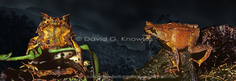 Javan Horned Frog male (right) seeks noncommittal female. This horned frog is endemic to Java