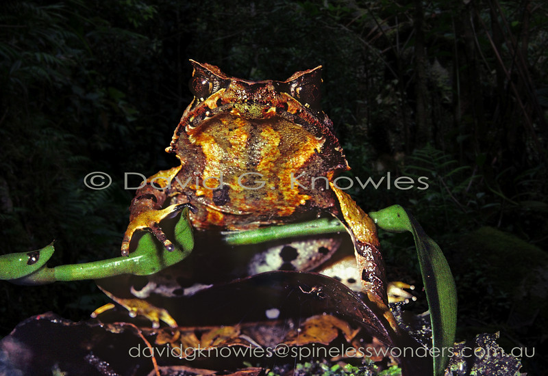Female Javan Horned Frog turns her back on advancing male. This horned frog is endemic to Java