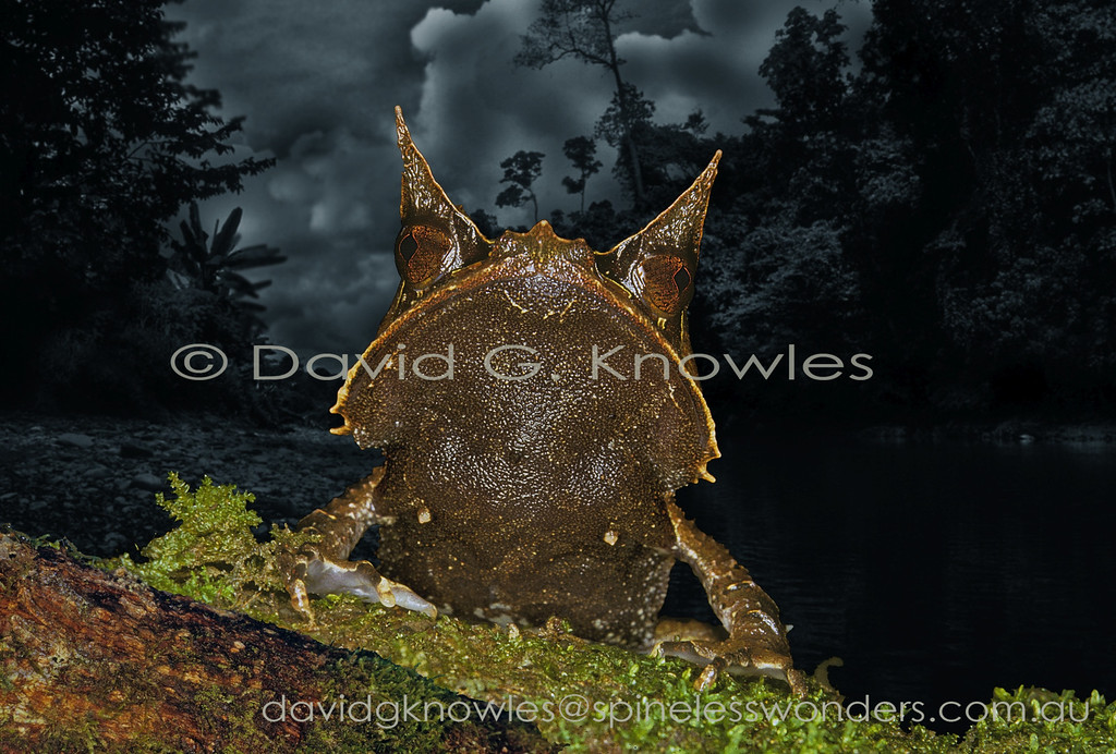 Sumatran Horned Frog rises over a small log to be confronted face to face with a much small type of frog. This horned frog species ranges from southern Thailand and Peninsular Malaysia to Singapore, Sumatra and Borneo