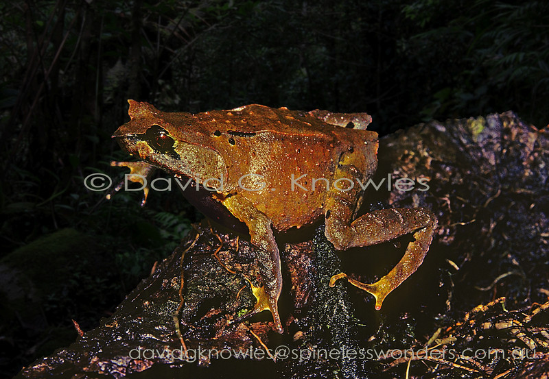Male Javan Horned Frog sees female nearby. This horned frog is endemic to Java
