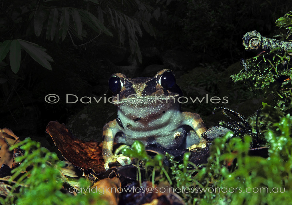 Montane Litter Frog peers at tourists passing by after leaving restaurant. This litter frog is endemic to Borneo