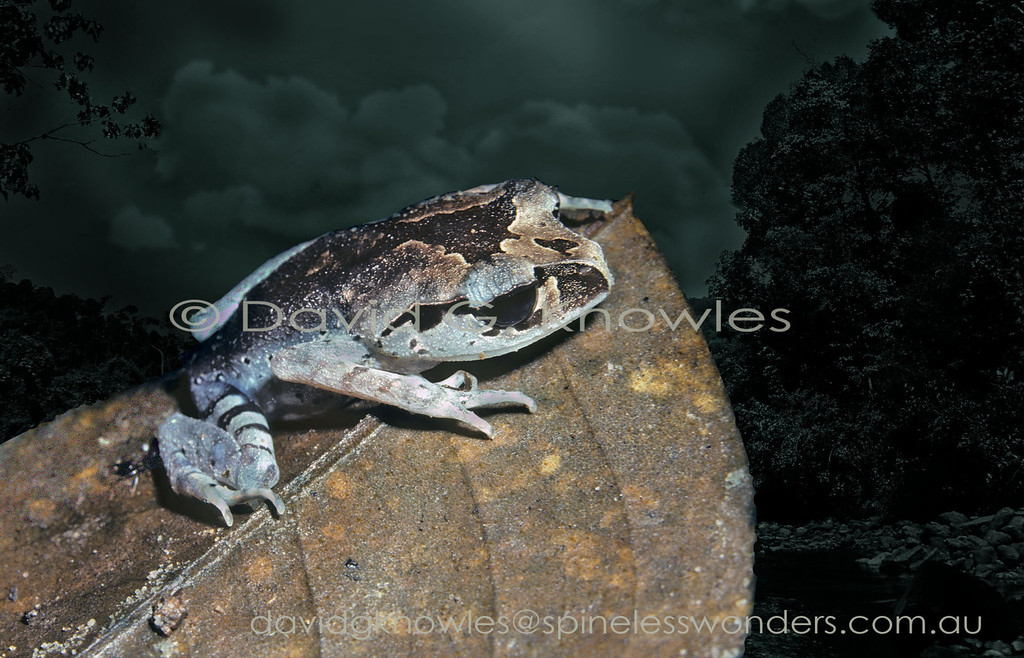 Spotted Litter Frog crouches low as a small herd of elephants cross its breeding stream. This litter frog occurs in Peninsular Malaysia and Borneo