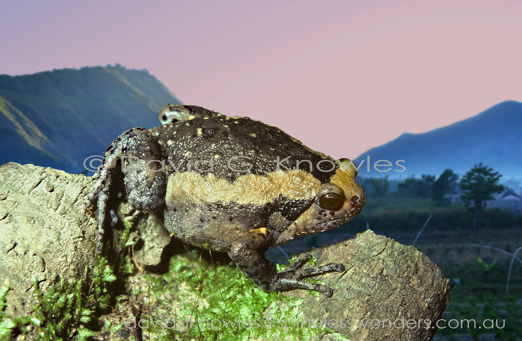 Banded Bullfrogs are another frog that has done well as a result of humans modifying drainage and creating paddy fields. The Banded Bullfrog extends from southern India and Sri Lanka through Burma, Thailand and parts of southern China and Indochina to Peninsular Malaysia, Borneo, Sumatra, Java, Sulawesi and Flores