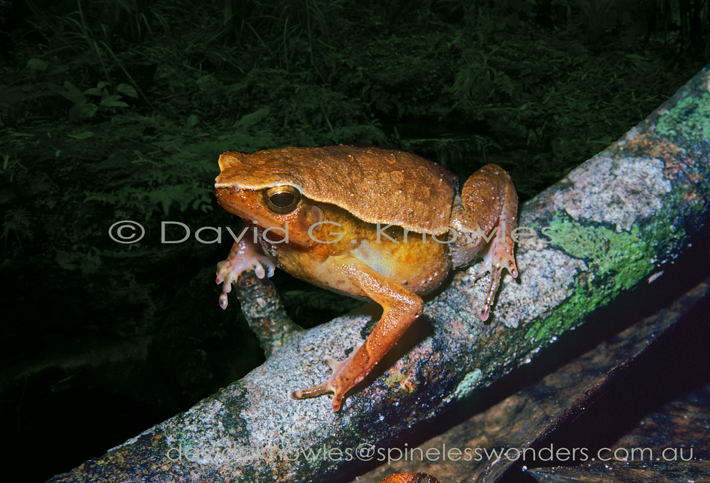 Rufous-sided Sticky Frog contemplates the sex of a non-calling nearby individual. This sticky frog occurs from Peninsular Malaysia and Sumatra to Borneo and the southern Philippines