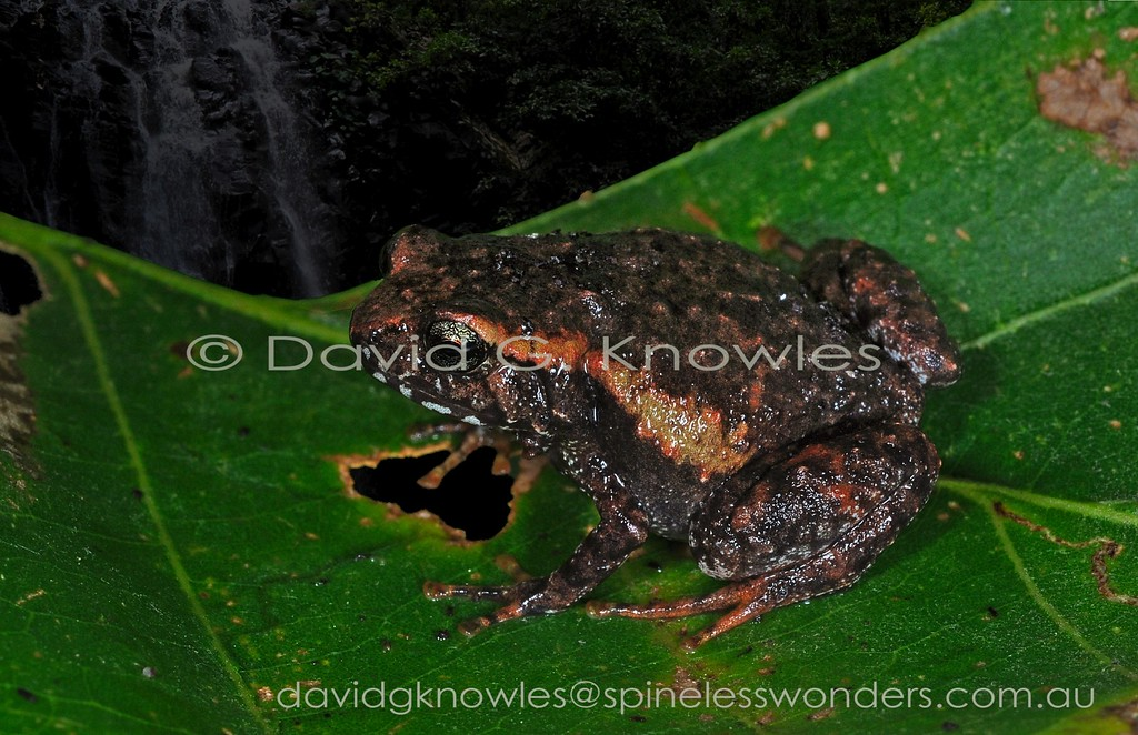 Lombok Cross Frogs from the highlands of Bali and Lombok Islands is IUCN listed. It is also interesting that, as a highland non-flying vertebrate, it bridges the Wallace line separating the islands