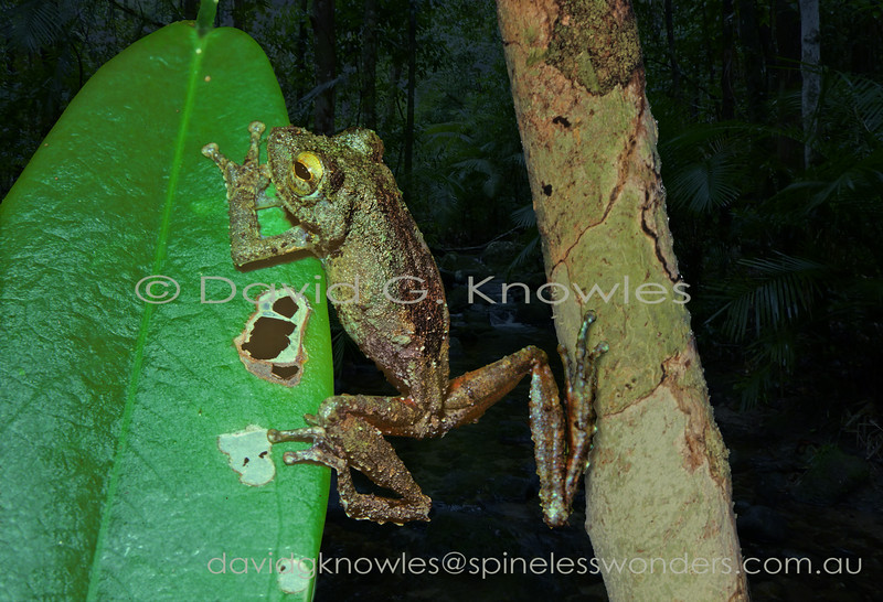 Frilled Tree Frogs rest on lichen-encrusted trunks and vines during the day where they camouflage beautifully. This tree frog extends from Peninsular Malaysia to Sumatra, Borneo and the Philippines