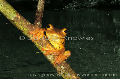 Frogs and Toads South East Asia
