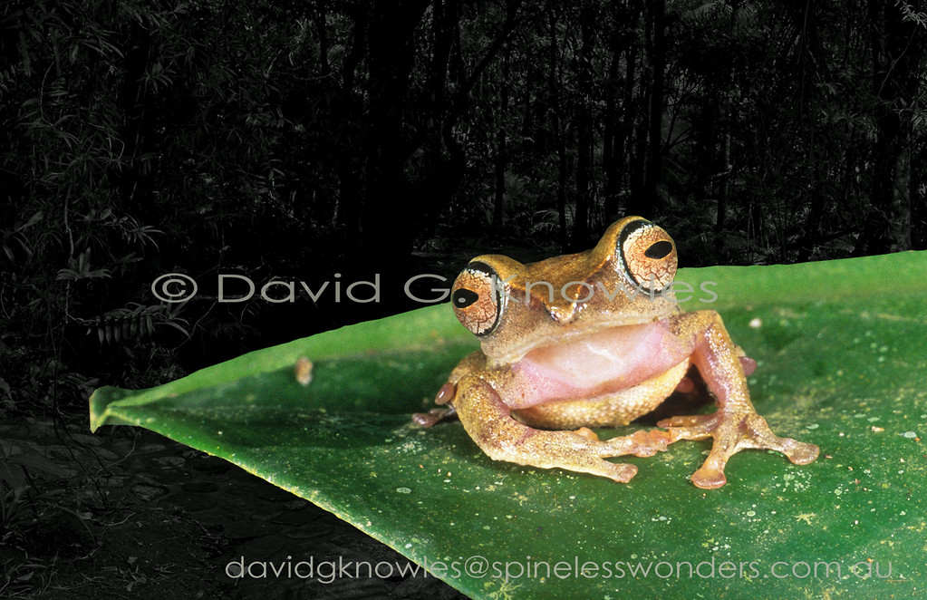 Belying their 'hard night eyes' Masked Tree Frogs are small agile shrub-inhabiting members of their family. This tree frog is only known from the mountains of western Sabah Borneo