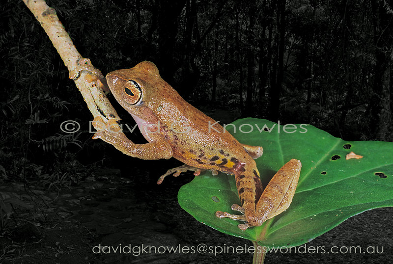 Masked Tree Frogs are small agile shrub-inhabiting members of their family. This tree frog is only known from the mountains of western Sabah Borneo