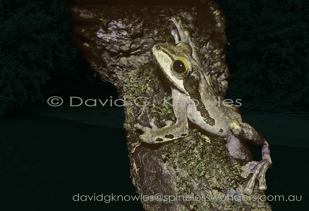 Although the Dark-eared Tree Frog has dark ears it also has very large ears which maybe able to hear other male frogs over a large distance or elucidate their calls through a cacophony of other frog calls. They may also be able to hear the calls of frog-eating bats and birds. This tree frog extends. This tree frog extends from Sumatra to Borneo and the southern Philippines