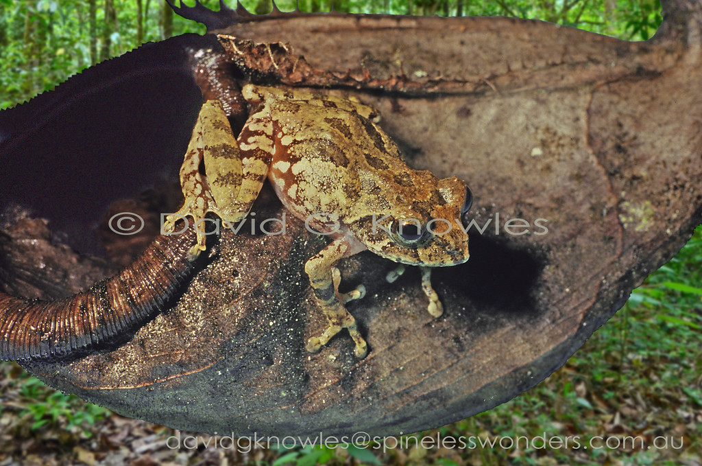 The dried out pitcher of the world's largest pitcher plant provides a comfortable retreat for Mjoberg's Bush Frog
