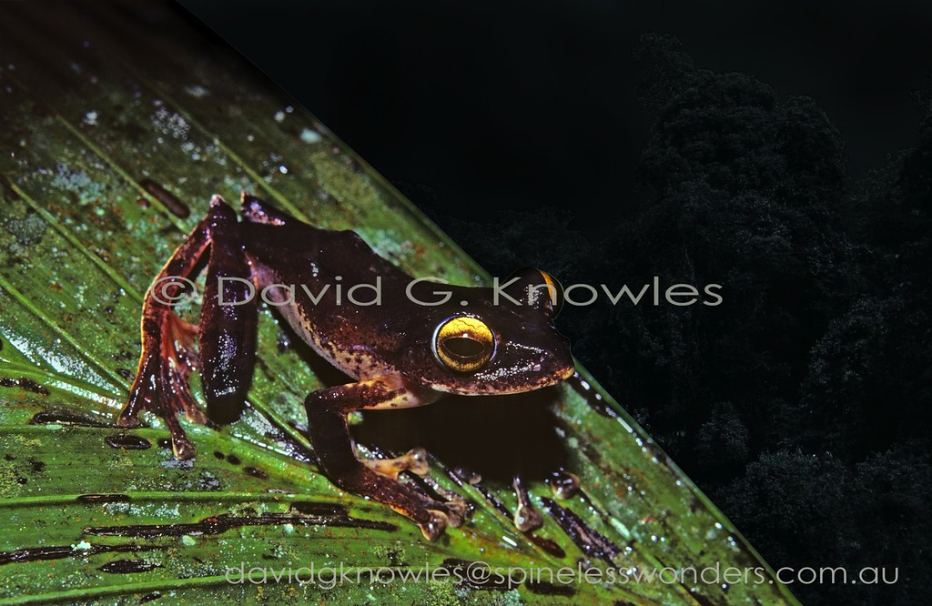 Male Java Flying Frog in dark colour phase would have difficulty in gliding as the interdigital webbing is only moderately extensive.Java Flying Frog females are considerably larger than males. This tree frog is endemic to Java Indonesia