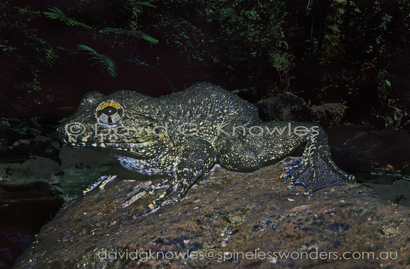 This unidentified fanged frog reaches a size that the local human population would consider as a food item which can impact easy to harvest species. However this species lives on slippery boulders in fast-flowing highland streams making night collection difficult and dangerous. This undescribed fanged frog is endemic to Sulawesi