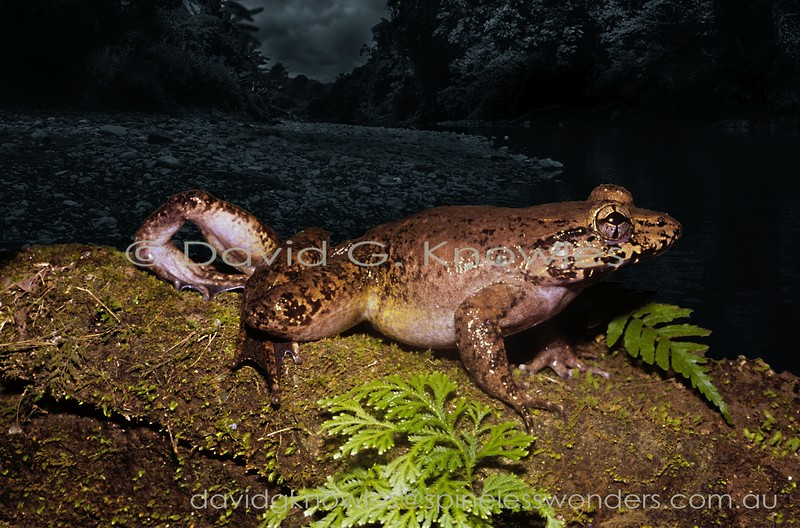 This unidentified Maluku fanged frog shows the 'quartered' eye pattern typical of the family. In addition it is possibly endemic to Halmahera