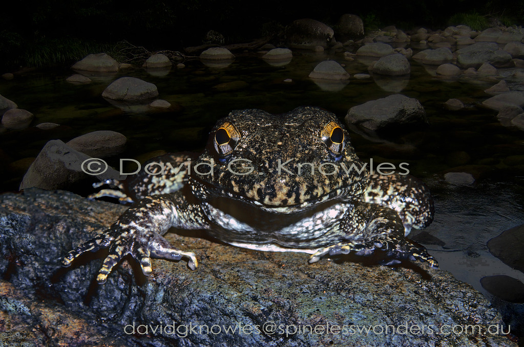 Nocturnal animals like frogs and toads have superior night sight to humans. To this frog the boulder strewn creek in which it lives might be exposed to the degree shown here which to a human would be barely discernible in the dark of night. This undescribed fanged frog is endemic to Sulawesi