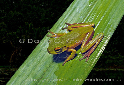 South East Asian Frogs Hylidae (Tree Frogs)