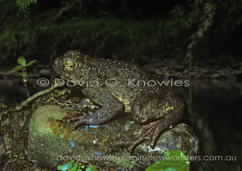 River Toads can produce a considerable amount of milky venom from the parotid glands situated behind the eye. The river toad extends from Burma through Thailand and Peninsular Malaysia to Sumatra, Java and Borneo