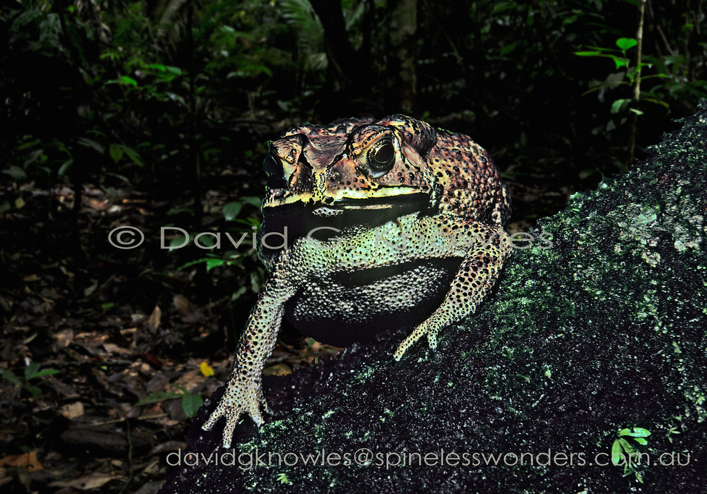 Common Sunda Toads are avoided by most predators due to the venom produced by parotid glands behind the eyes. As a result toad numbers are controlled in part by a group of snakes immune to the venom. This widespread species extends from Pakistan, Nepal, Bangladesh, Sri Lanka), southern China (including Hong Kong, Taiwan) throughout all countries of mainland Southeast Asia, and offshore to the islands of Sumatra, Borneo and Java. It has been introduced onto the Indonesian islands of Bali, Lombok, Sulawesi, Timor-Leste and West Papua New Guinea