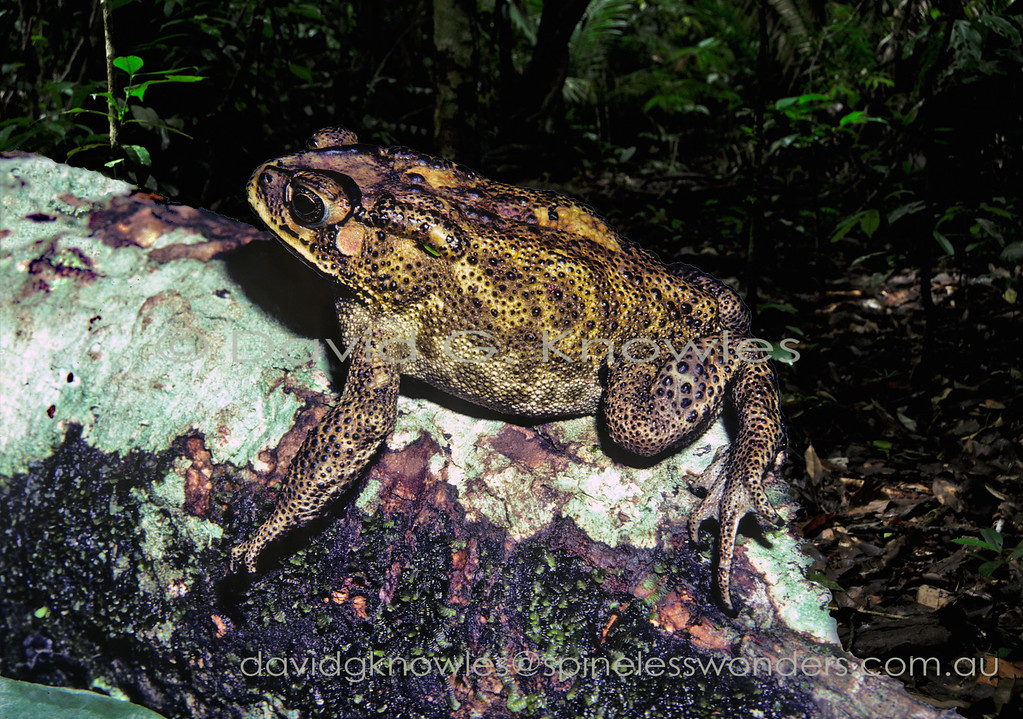 Common Sunda Toads can tolerate a wide variance in humidity penetrating into the drier parts of eastern South East Asia in the Lesser Sunda Islands. This widespread species extends from Pakistan, Nepal, Bangladesh, Sri Lanka), southern China (including Hong Kong, Taiwan) throughout all countries of mainland Southeast Asia, and offshore to the islands of Sumatra, Borneo and Java. It has been introduced onto the Indonesian islands of Bali, Lombok, Timor-Leste and West Papua New Guinea