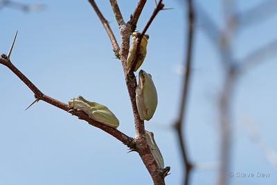 Eastern Dwarf Tree Frogs