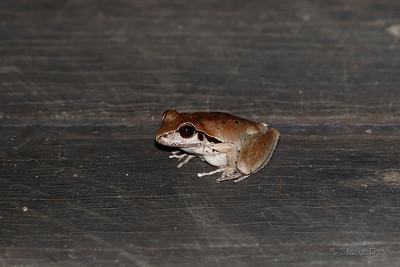 Eastern Stony Creek Frog-Female