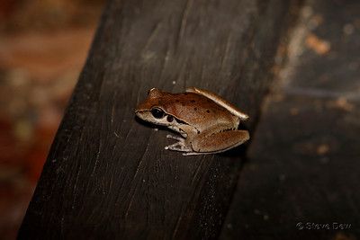 Eastern Stoney Creek Frog