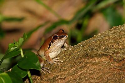 Eastern Stony Creek Frog - Female