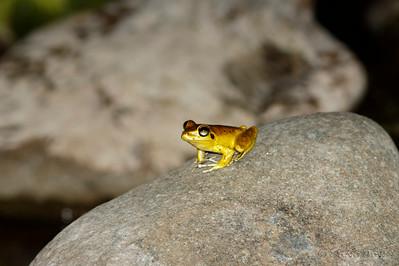 Eastern Stony Creek Frog - Male
