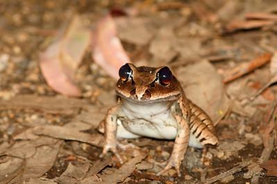 Fleay's Barred Frog