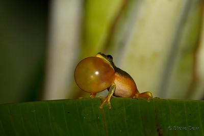 Gracefull Tree Frog - Male